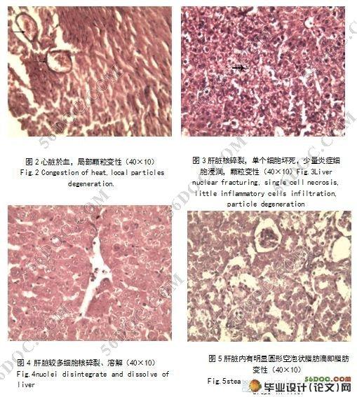 粪肠球菌感染小鼠的组织病理学观察(5700字) 摘 要:粪肠球菌是动物肠道正常菌群,但近年来的研究表明,该菌早已经成为院内感染的重要机会致病菌之一,在兽医领域,粪肠球菌能引起猪,牛,羊,禽等动物发病而引起高度关注。本实验对实验小鼠通过腹腔注射半数致死量为9.3×1010个活菌数的粪肠球菌菌液,待小鼠自然死亡后,取小鼠的脏器做石蜡病理切片。从微观病理变化发现小鼠各脏器细胞均有不同程度的变性,坏死。脏器血管均有充血,淤血,中性粒细胞和淋巴细胞增多。说明粪肠球菌能侵害小鼠的各主要脏器,同时引起小鼠的